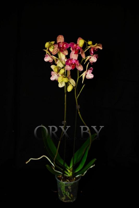 Где купить цветы голубой орхидея в минске доставка цветов москва оплата visa