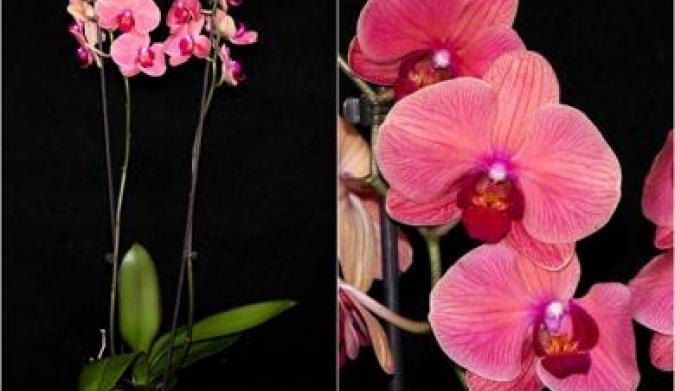 Купить орхидеи в минске дешево распродажа